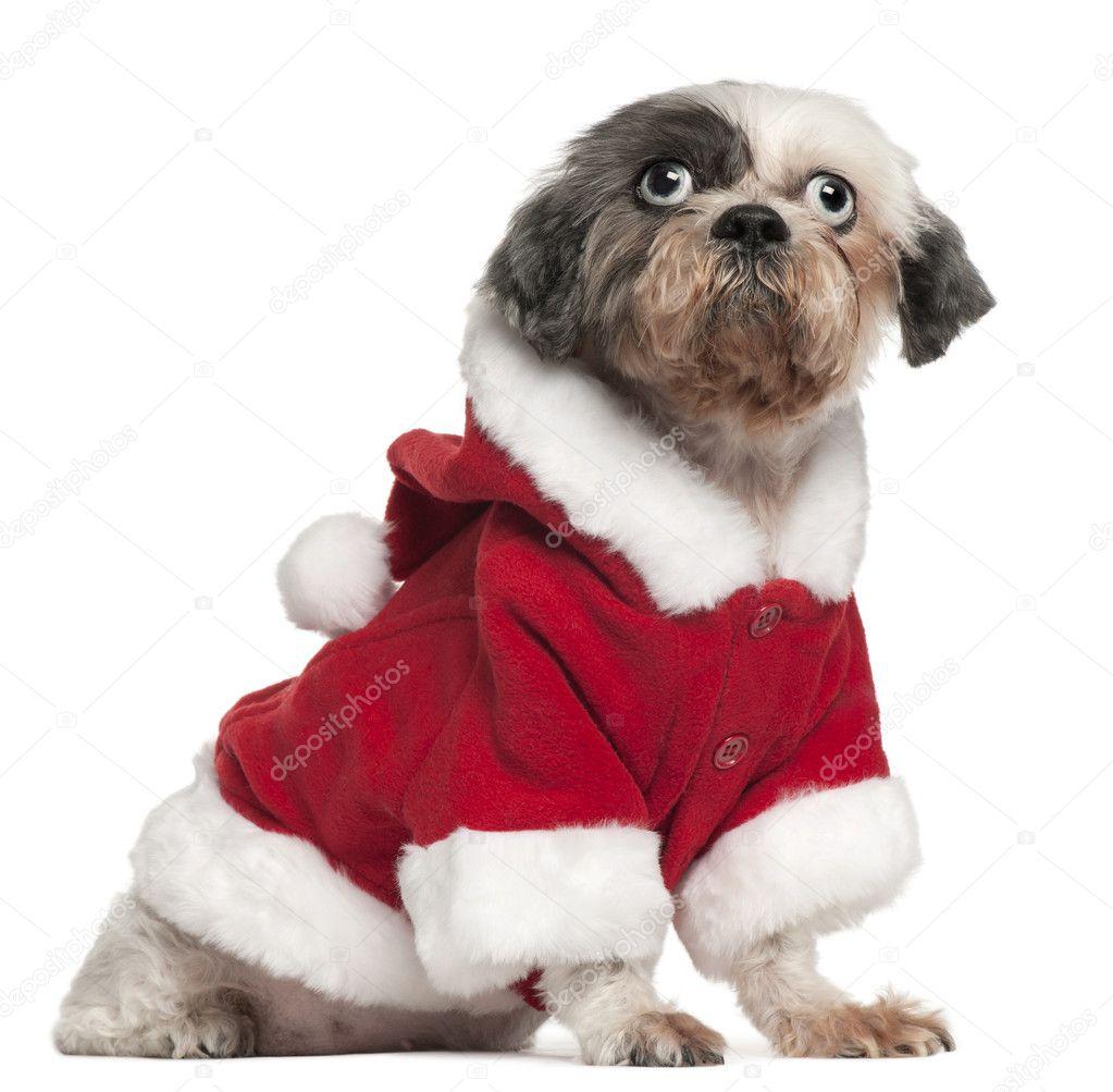Shih Tzu Vestindo Roupa De Papai Noel 12 Anos E Meio De