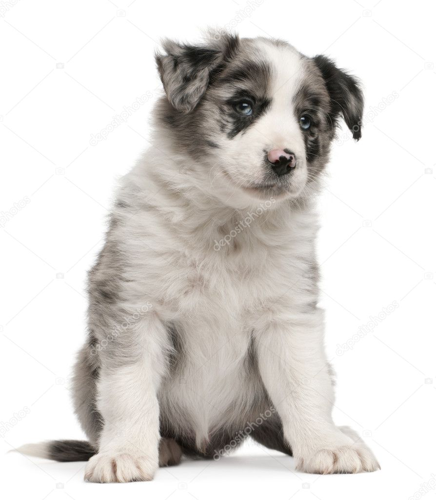 Blue Merle Border Collie Puppy 6 Weeks Old Sitting In Front Of White Background Stock Photo C Lifeonwhite 10898129