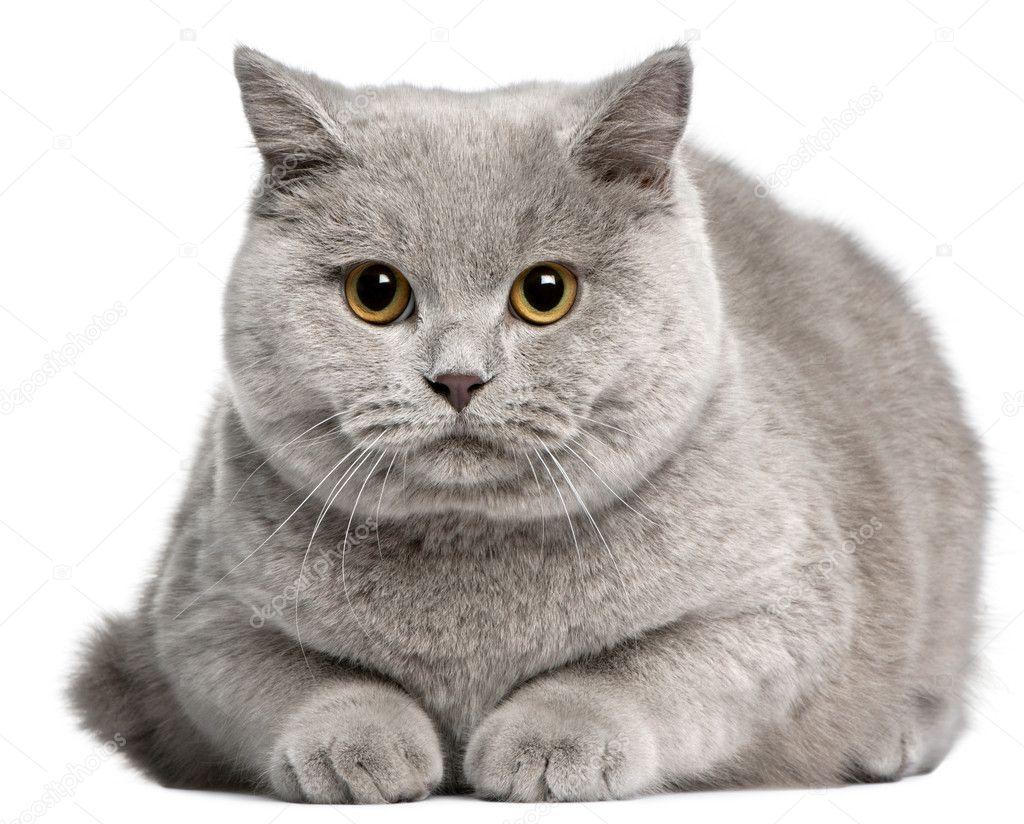 Gatos britanicos pelo corto mexico