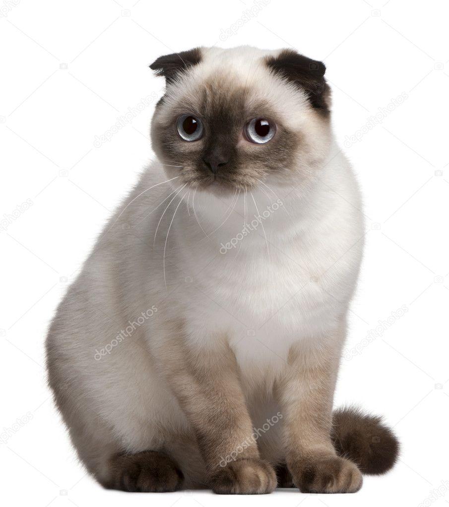 сиамская вислоухая кошка фото