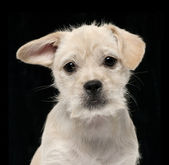 Photo Mixed-breed puppy, 4 months old, lying in front of white background