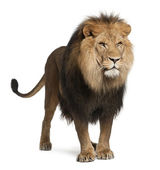 Lion, Panthera leo, 8 years old, standing in front of white background