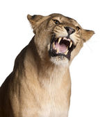 Photo Lioness, Panthera leo, 3 years old, snarling in front of white background