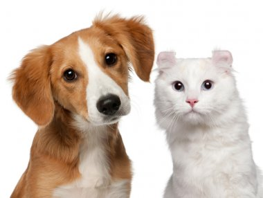 Mixed-breed puppy, 4 months old and a American Curl cat, 1 and a half years old, in front of white background