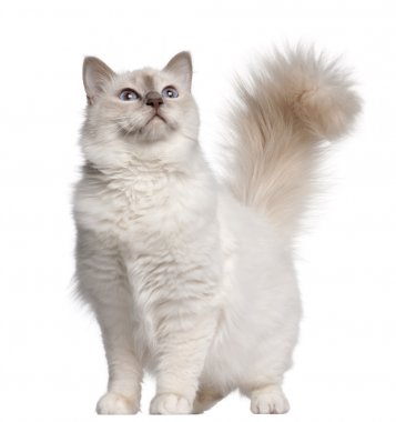 Birman cat, 11 months old, standing in front of white background