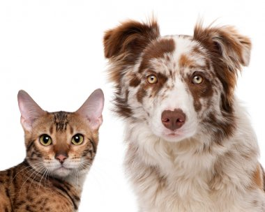 Red Merle Border Collie, 6 months old and a Bengal cat, 7 months old, in front of a white background