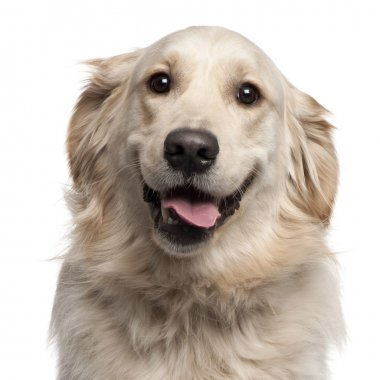Golden Retriever, 2 years old, sitting in front of white background