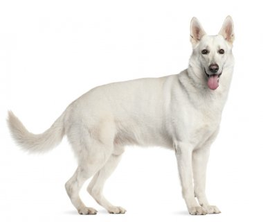 White Swiss Shepherd Dog, 4 years old, standing in front of white background