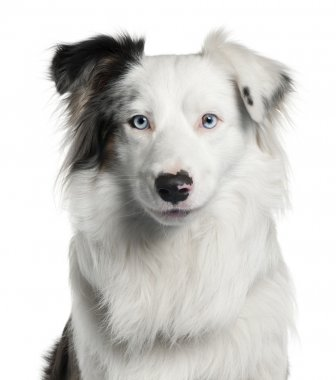 Close-up of Border Collie, 2 years old, in front of white backgr