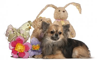 Chihuahua lying with Easter stuffed animals in front of white ba
