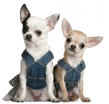 Chihuahuas wearing denim, 1 year old and 11 months old, sitting in front of white background