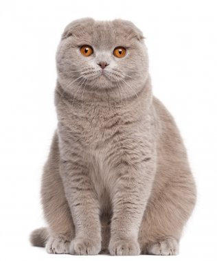 Scottish Fold cat, 9 and a half months old, sitting in front of white background