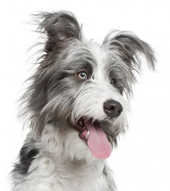 Close-up of Mixed-breed dog, 7 months old, in front of white background