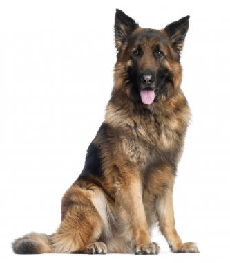 German Shepherd Dog, 4 years old