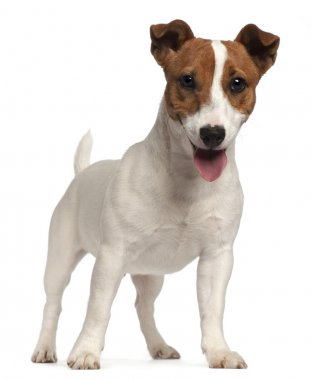 Jack Russell Terrier puppy, 6 months old, standing in front of w