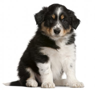 Border Collie puppy, 6 weeks old, sitting in front of white back