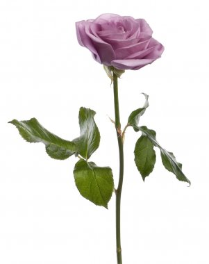 Rose, Rosa aqua, in front of white background