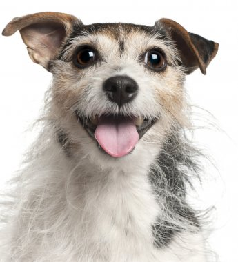 Close-up of Jack Russell Terrier, 7 years old, in front of whit