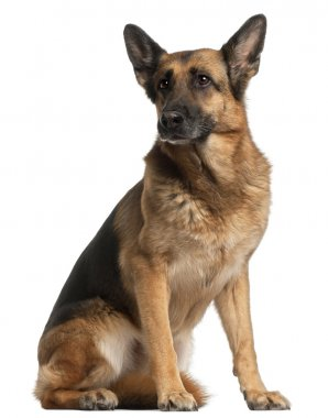 German Shepherd Dog, 10 years old, sitting in front of white bac