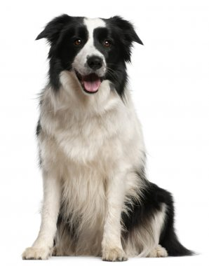 Border Collie, 2 years old, sitting in front of white background