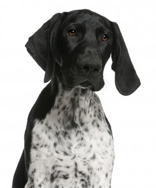 Close-up of German Shorthaired Pointer puppy, 4 months old, in f