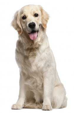 Golden Retriever, 10 months old, sitting in front of white backg