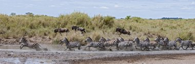 Zebra crossing a river in Serengeti National Park, Tanzania, Afr