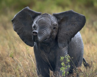 African elephant in Serengeti National Park, Tanzania, Africa, after the rain