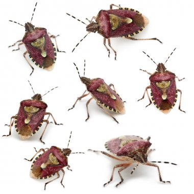 Collection of Shield bugs, Dolycoris baccarum, in front of white background