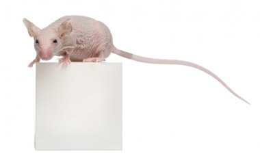 Hairless House mouse, Mus musculus, 3 months old, on box in front of white background