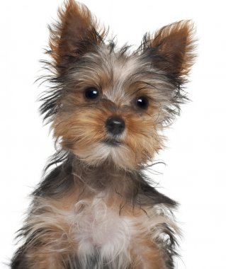 Yorkshire Terrier puppy, 8 weeks old, in front of white background