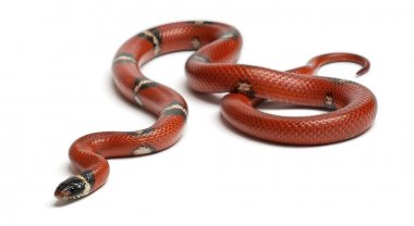 Sinaloan milk snake, Lampropeltis triangulum sinaloae, in front of white background