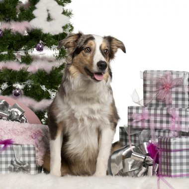 Border Collie puppy, 6 months old, sitting with Christmas tree and gifts in front of white background