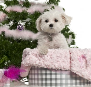 West Highland White Terrier, 6 years old, with Christmas gifts in front of white background