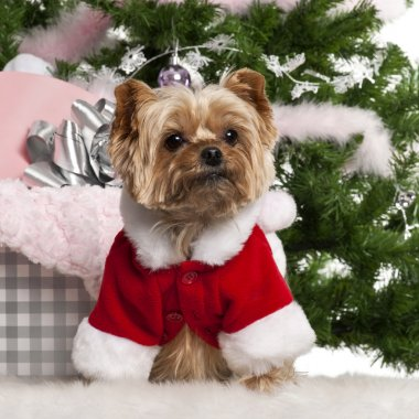 Yorkshire Terrier, 7 years old, wearing Santa outfit with Christmas gifts in front of Christmas tree
