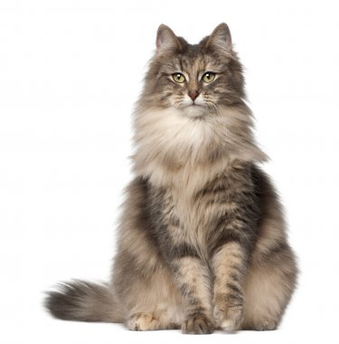 Portrait of Norwegian Forest Cat, 1 and a half years old, sitting in front of white background