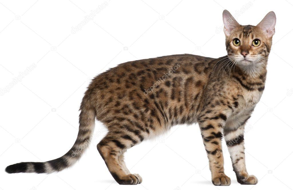Kot Bengalski 7 Miesięcy Stojąc Z Przodu Białe Tło Zdjęcie