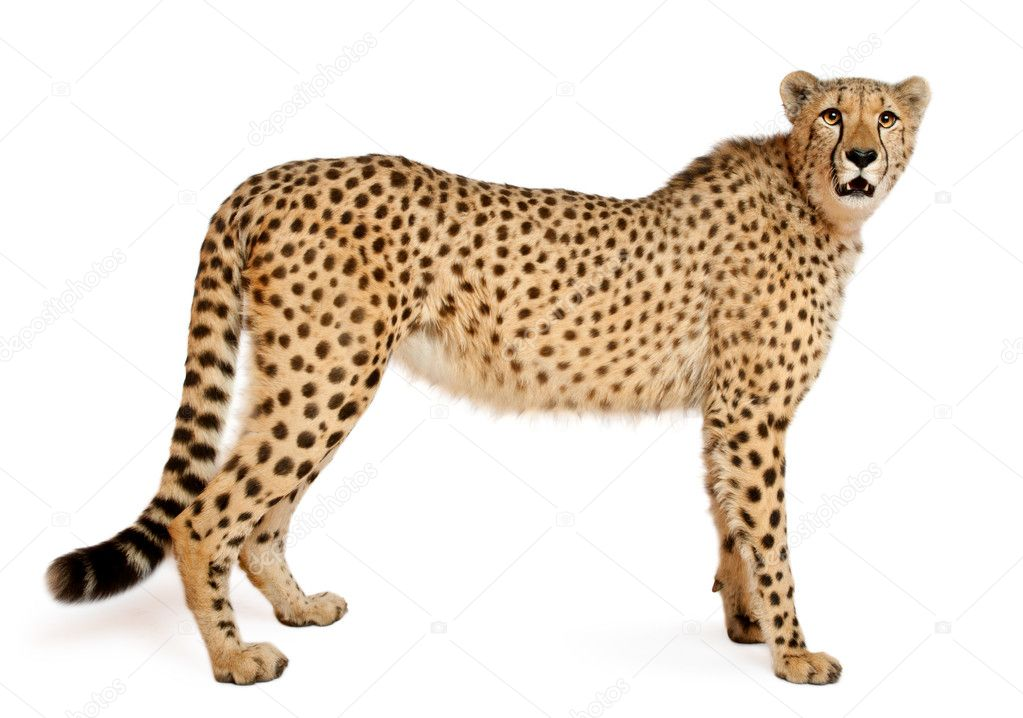 Where Does A Cheetah Live >> Cheetah, Acinonyx jubatus, 18 months old, sitting in front of white background — Stock Photo ...