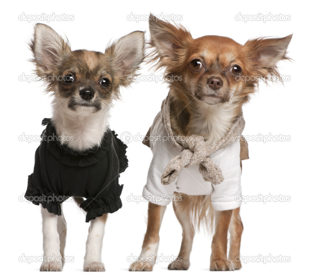Chihuahua Puppies Dressed Up 3 Months Old And 10 Months Old