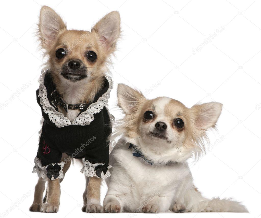 Chihuahua, 3 ans et le chiot chihuahua, 6 mois, habillé en