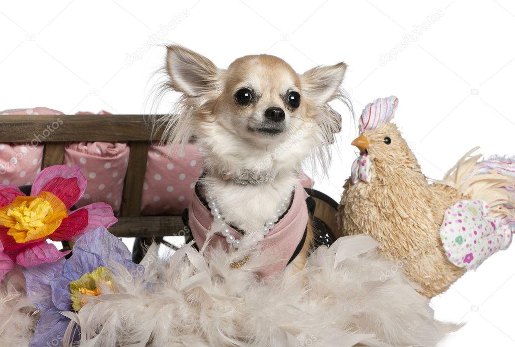 chihuahua 3 ans habill et assis pr s de lit pour chien avec fleurs et poulet farci en face de. Black Bedroom Furniture Sets. Home Design Ideas