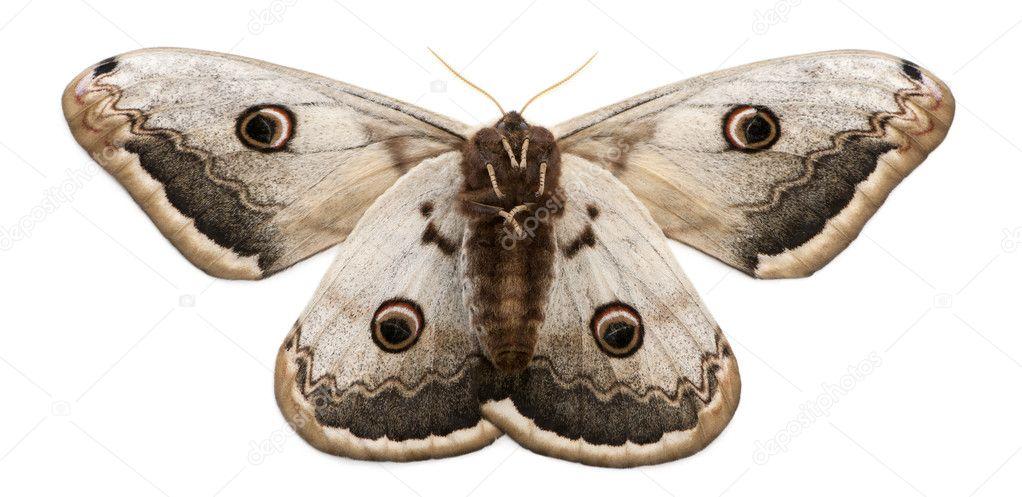 最大の欧州産の蛾、巨大な孔雀の蛾、白い背景の前のクジャクのピリジルアゾ — ストック写真