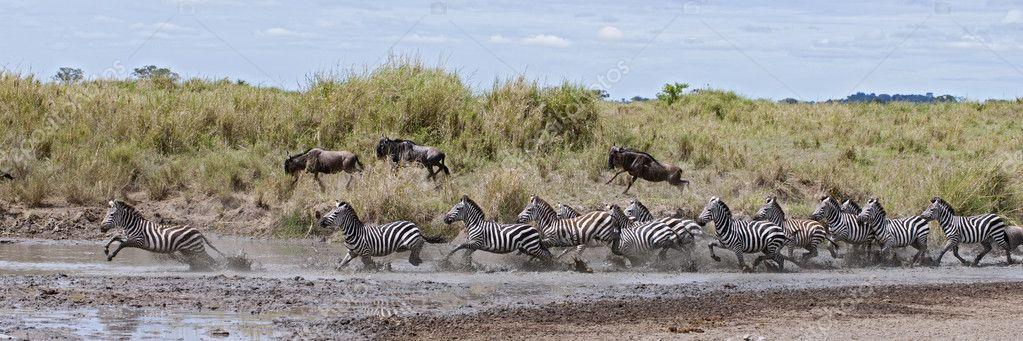 Zebra crossing a river in Serengeti National Park, Tanzania, Afr