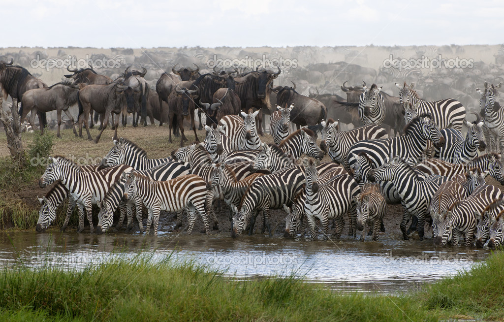 Zebras drinking at the Serengeti National Park, Tanzania, Africa