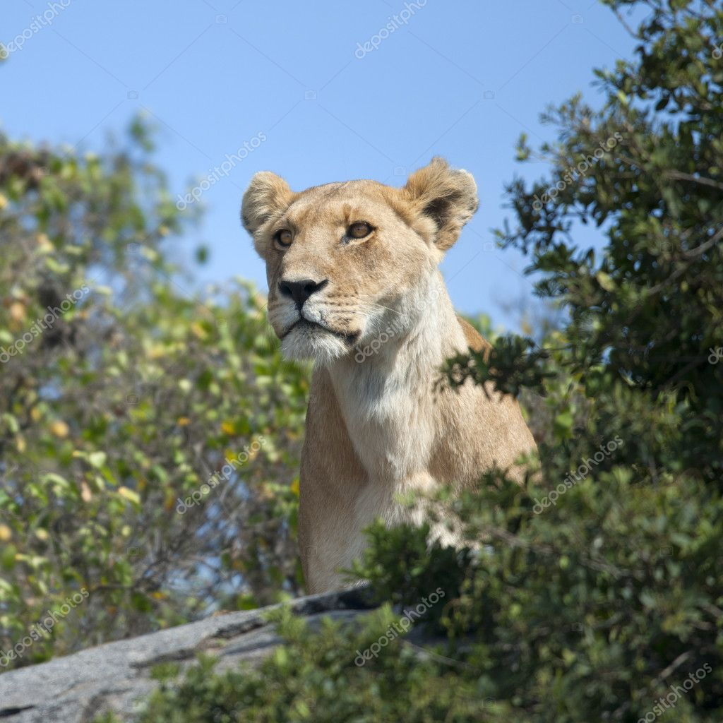 Lioness in Serengeti National Park, Tanzania, Africa