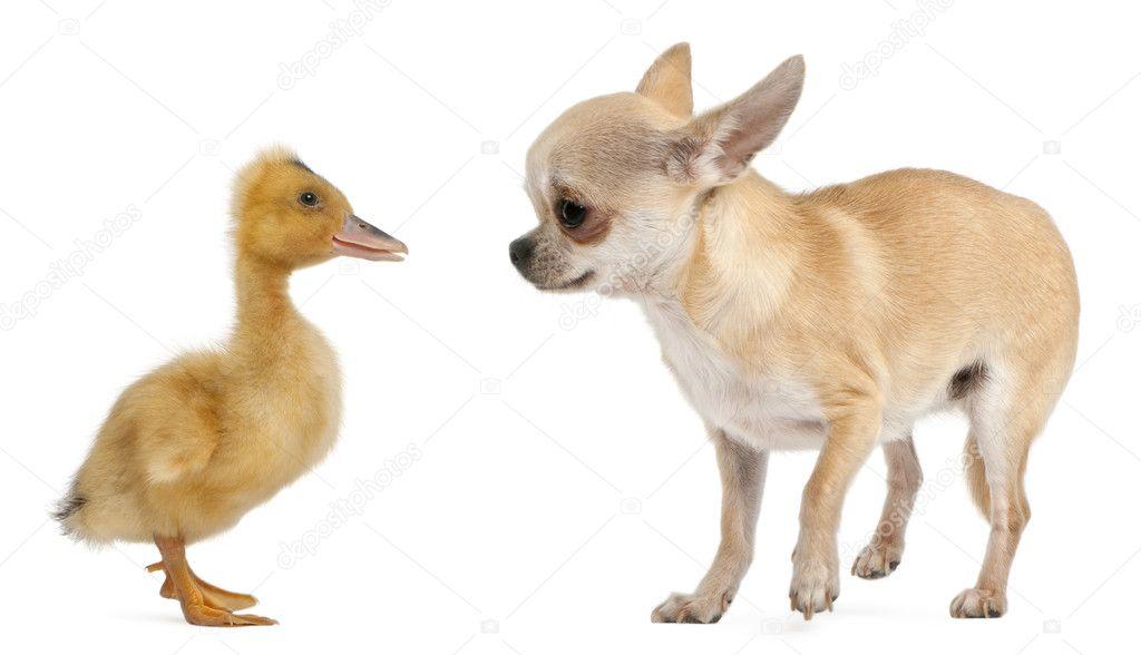Chihuahua Jugando Con Un Ganso Domestico Frente A Fondo Blanco