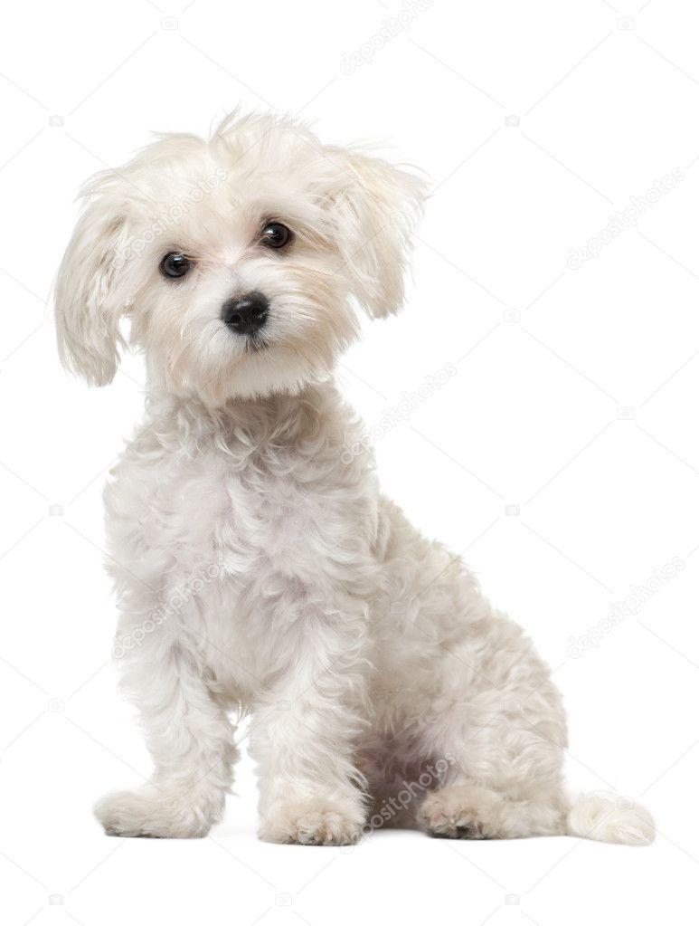 malteser welpe 6 monate alt sitzt vor wei er hintergrund stockfoto lifeonwhite 10903485. Black Bedroom Furniture Sets. Home Design Ideas