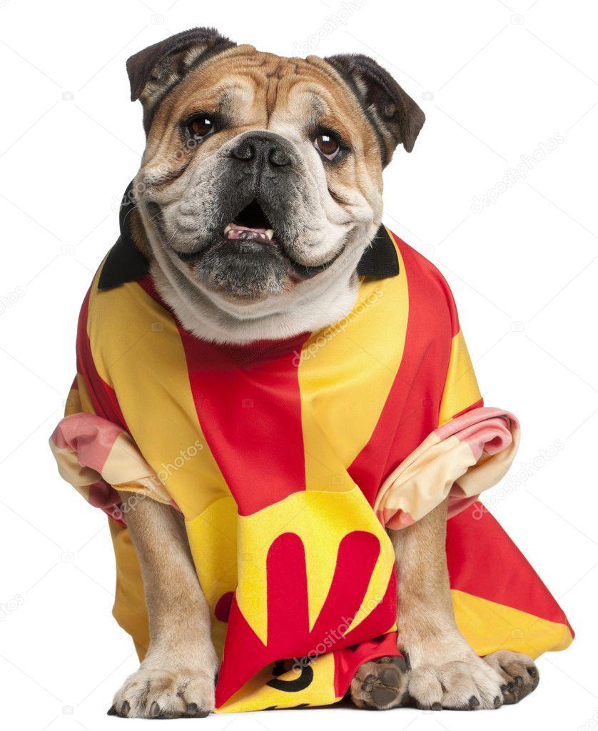 Bulldog inglese vestito con una maglia di calcio davanti a sfondo bianco–  immagine stock 256ce4f8f845