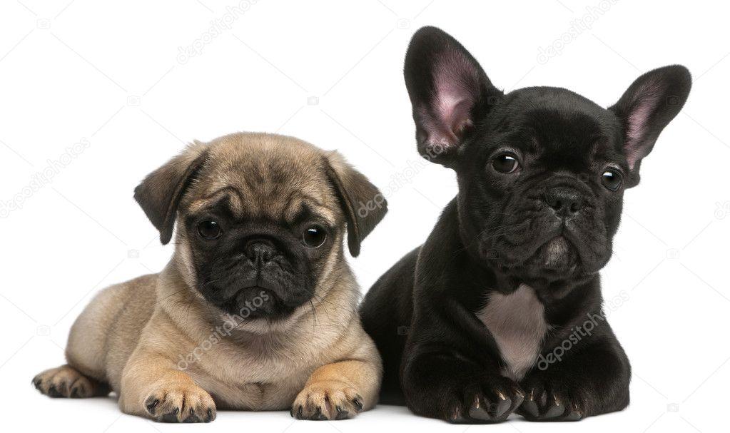 Cachorro Pug y bulldog francés cachorro, 8 semanas de edad ...