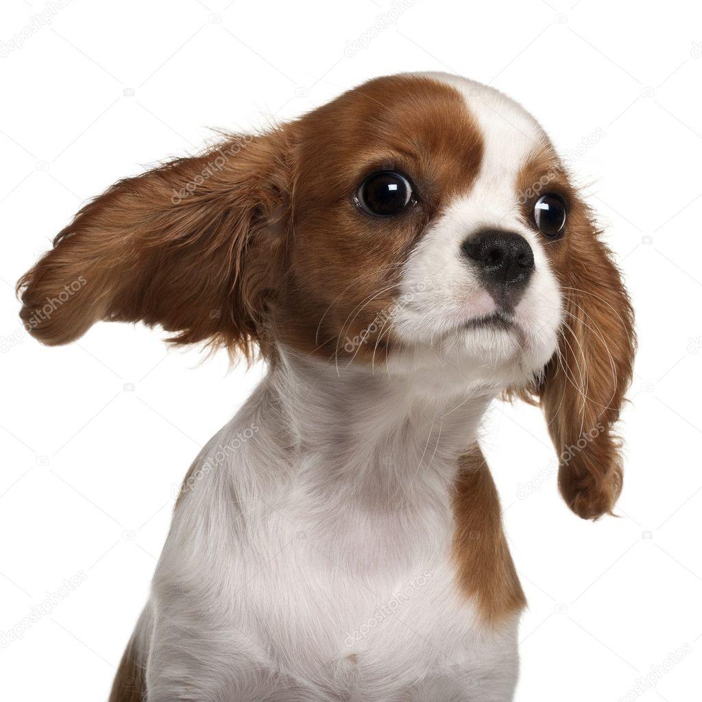Gros plan de chiot cavalier king charles spaniel 3 mois en face de fond blanc photographie - Chiot cavalier king charles gratuit ...